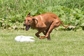 Happy dog lure coursing